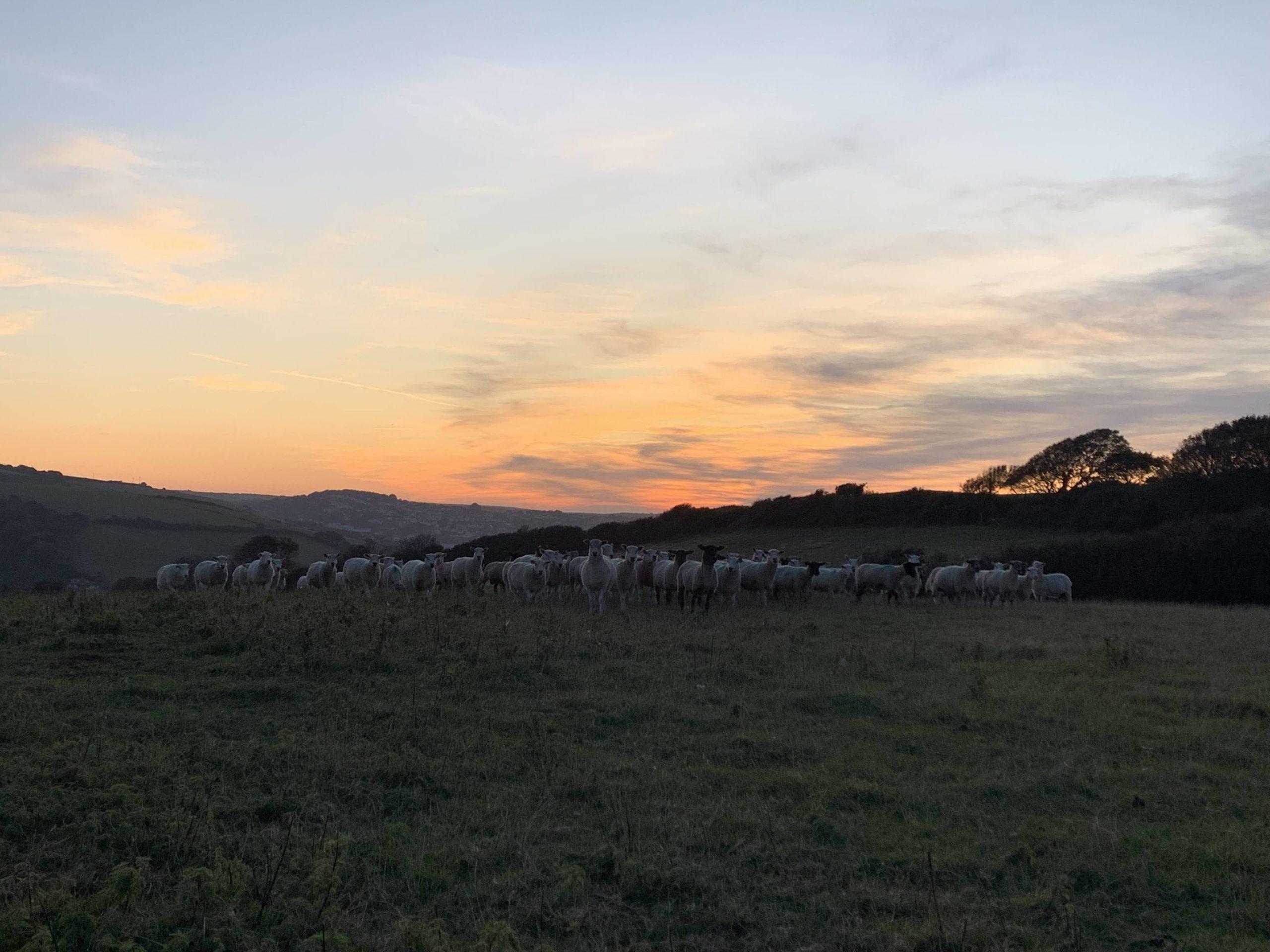 Wilton Farm Sheep